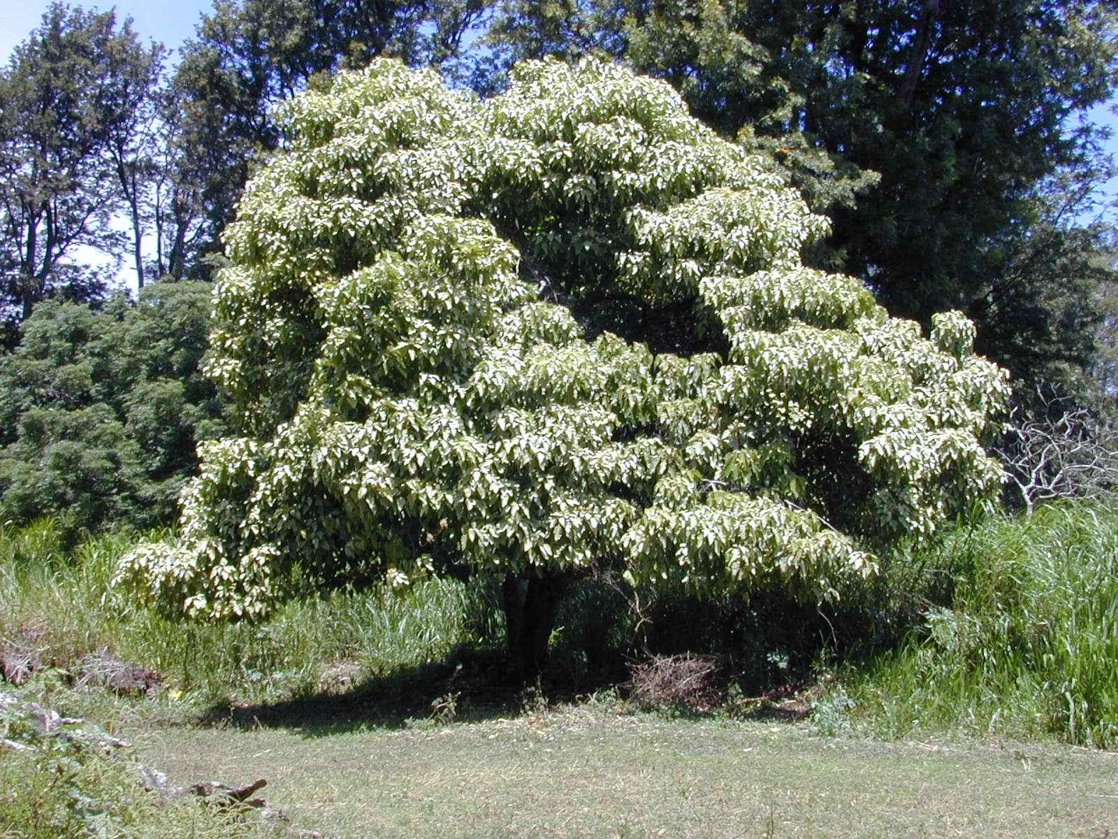 kukui arbre